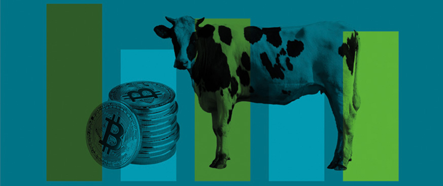 Colorful image of a cow and a stack of bitcoin.